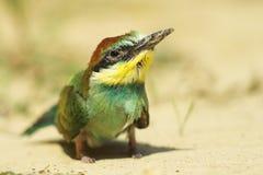 Él es uno del pájaro protegido de Europa. Foto de archivo libre de regalías