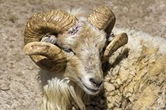 Él-ovejas Foto de archivo