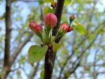 Él primavera del ` s Árbol frutal floreciente imágenes de archivo libres de regalías