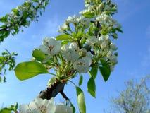 Él primavera del ` s Árbol frutal floreciente imagen de archivo libre de regalías