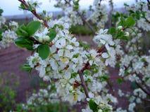 Él primavera del ` s Árbol frutal floreciente fotografía de archivo libre de regalías