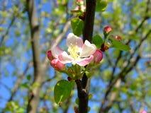 Él primavera del ` s Árbol frutal floreciente foto de archivo