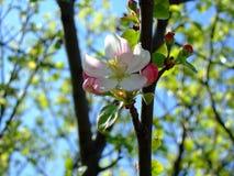Él primavera del ` s Árbol frutal floreciente fotografía de archivo