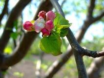 Él primavera del ` s Árbol frutal floreciente foto de archivo libre de regalías