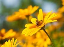 Él se está sentando en una abeja amarilla de la margarita Fotos de archivo