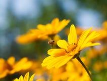 Él se está sentando en una abeja amarilla de la margarita Foto de archivo