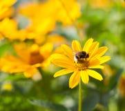 Él se está sentando en una abeja amarilla de la margarita Imágenes de archivo libres de regalías