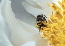 Él tiempo de la abeja del ` s Imagen de archivo