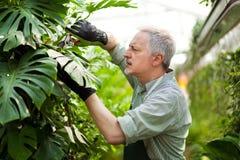 Élagage de jardinier une usine photo libre de droits
