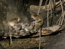 Élagage de singes un ami Photos stock