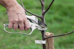 Élagage des jeunes plantes d'arbre après plantation images stock
