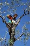 Élagage olive Images libres de droits