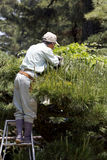Élagage professionnel de jardinier un arbre Photo stock
