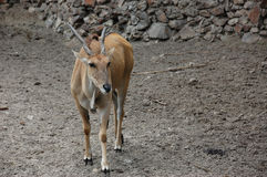 Éland d'antilope Photographie stock