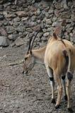 Éland d'antilope Images libres de droits