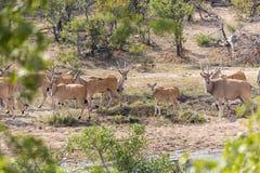 Éland en Kruger NP Photos libres de droits