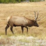 Élans dans Yellowstone photos libres de droits