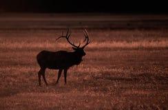 Élans dans Yellowstone Photo libre de droits