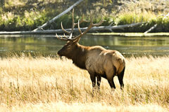 Élans de Bull Photo stock