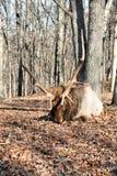 Élans de Bull Photo libre de droits