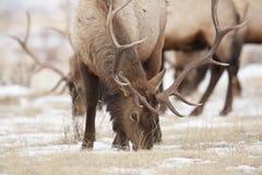 Élans de Bull Images stock