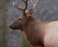 Élans de Bull Image stock