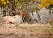 Élans de Bull photographie stock libre de droits