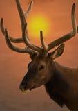 Élans de Bull au lever de soleil photos stock