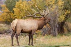 Élans de Bull bugling photographie stock libre de droits