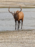 Élans de Bull, canadensis de cervus Photo stock