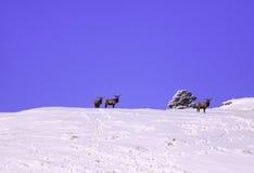 Élans de troupeau dans la neige Photographie stock libre de droits