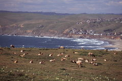 Élans de Tule au bord de la mer Images libres de droits