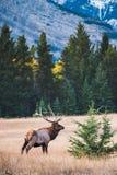 Élans en automne, parc national de Banff photographie stock libre de droits