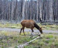 Élans en stationnement national de Yellowstone Image stock