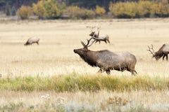 Élans et troupeau de Bull photographie stock libre de droits