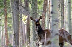 Élans femelles sauvages attentifs de vache se cachant dans la forêt images stock
