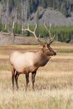 Élans majestueux de Bull Photo libre de droits
