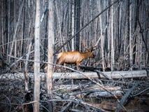 Élans marchant dans les arbres morts photo stock