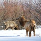 Élans ou wapiti en hiver à la frontière du Colorado-Wyoming Photographie stock libre de droits