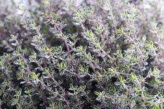 Élevage argenté d'herbe de reine de thym Photos libres de droits