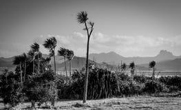 Élevage australis de Cordyline d'arbres de chou sur la péninsule de Coromandel, Nouvelle-Zélande Image libre de droits