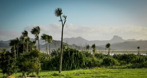 Élevage australis de Cordyline d'arbres de chou sur la péninsule de Coromandel, Nouvelle-Zélande Photographie stock libre de droits