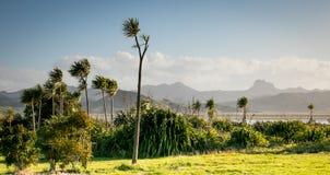 Élevage australis de Cordyline d'arbres de chou sur la péninsule de Coromandel, Nouvelle-Zélande Photos stock