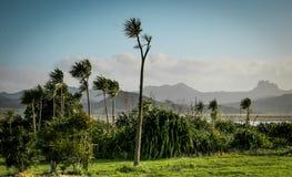 Élevage australis de Cordyline d'arbres de chou sur la péninsule de Coromandel, Nouvelle-Zélande Photo libre de droits