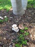 Élevage bas de palmier lisse unique dans deux, avec des champignons Image libre de droits