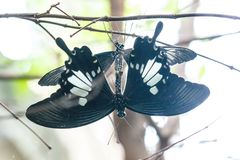 Élevage birdwing noir de papillon Image stock