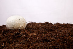 Élevage blanc de champignon Images libres de droits
