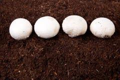 Élevage blanc de champignons Images stock