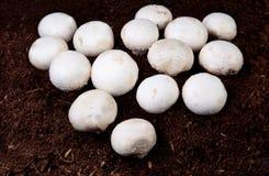 Élevage blanc de champignons Image libre de droits