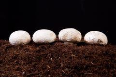 Élevage blanc de champignons Photos stock